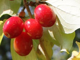 Kornelkirsche Blätter