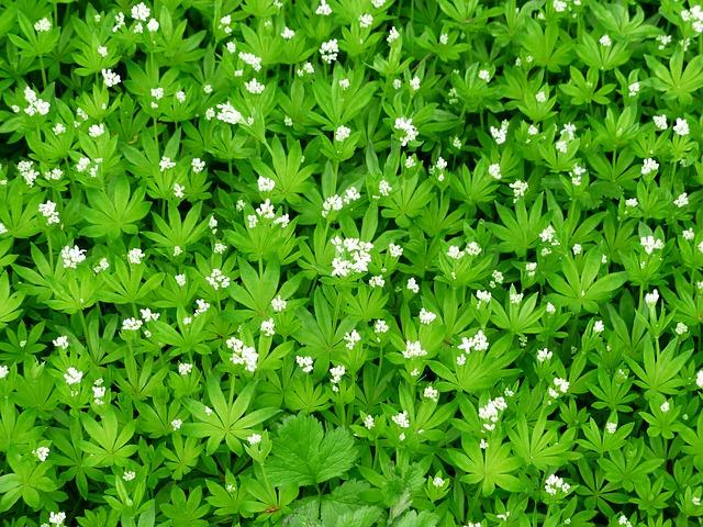 Waldmeister, Rezept, Kräuterzimmer, Heilpflanze