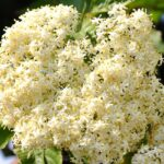 Holunder-Holunderblüten