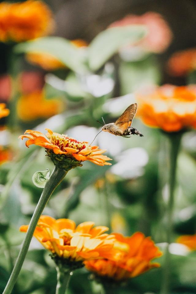Ringelblume-mit-Schmetterling