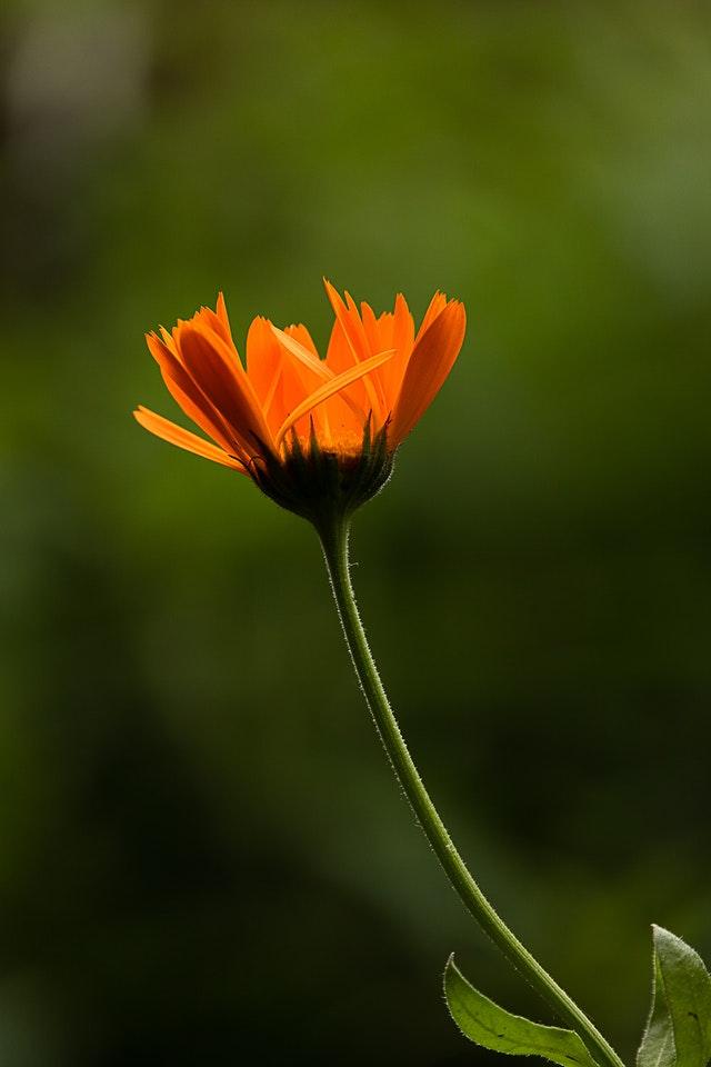 Ringelblume-wirkung