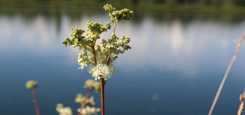 Mädesüß-Heilpflanze-Pflanzenportrait-Kräuterzimmer-Blog